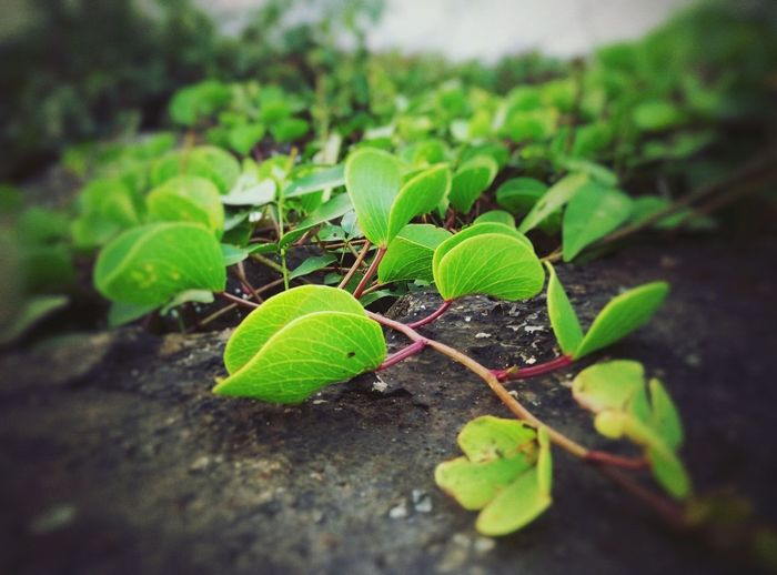 Leaves🌿 Leaves_collection Nature Nature On Your Doorstep Nature Textures Green Green Nature First Eyeem Photo