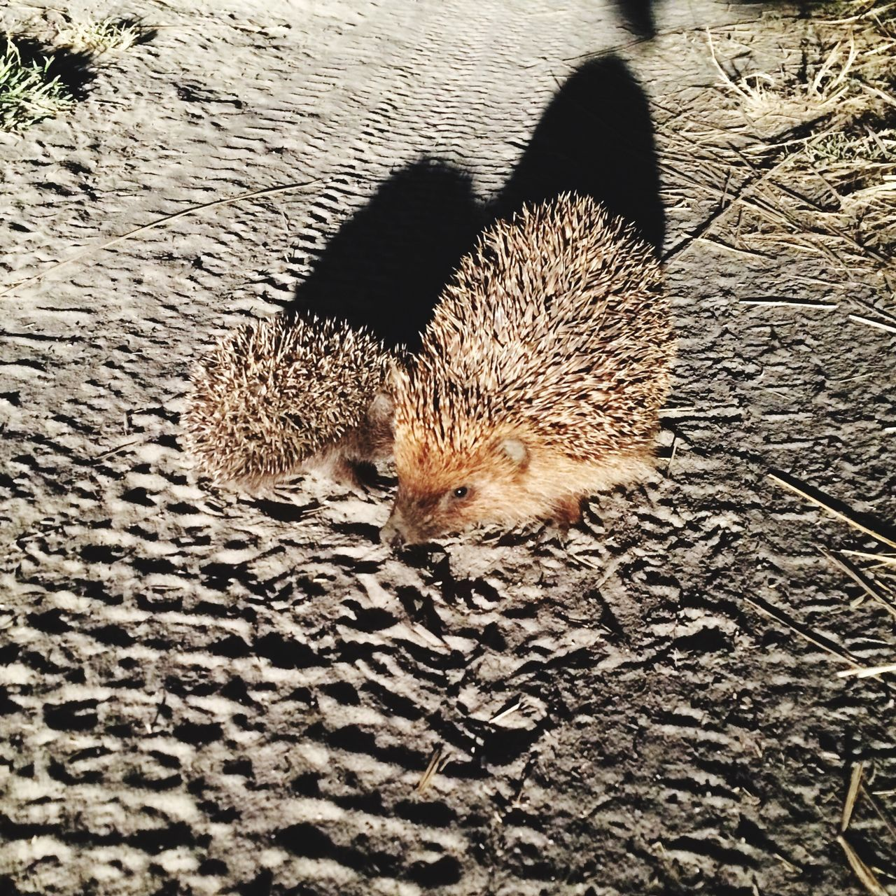 hedgehog family Hedge Hedgehog Hedgehog Family Hedgehogs Hedgehogging Hedgehogs On The Road Cute Cute Animals Family Animal Themes Animals Animal Animals In The Wild Animal Photography Animal Love Animal Portrait Animal Family