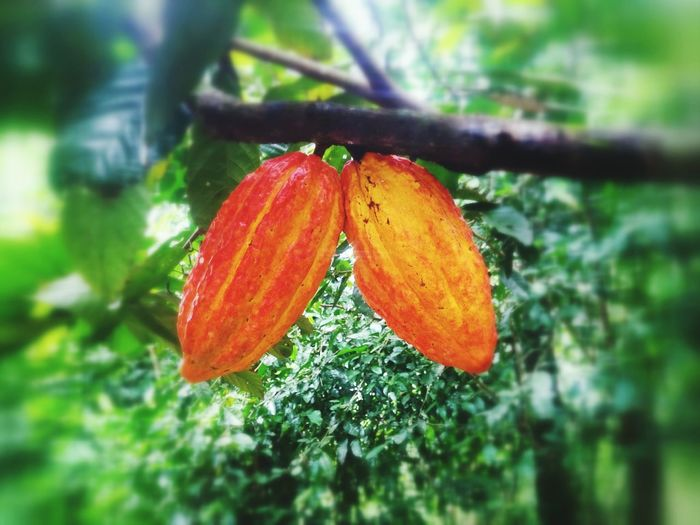 Theobromina, Cacao, Chocolatelover Chocolate♡ Theobromacacao Tarapoto