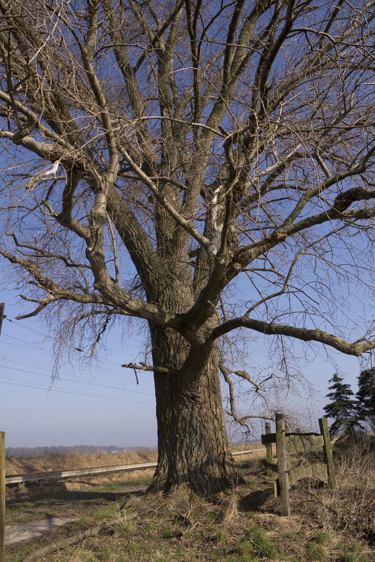 Baum Chestnut Kastanie Ohne Blätter Tree Winter