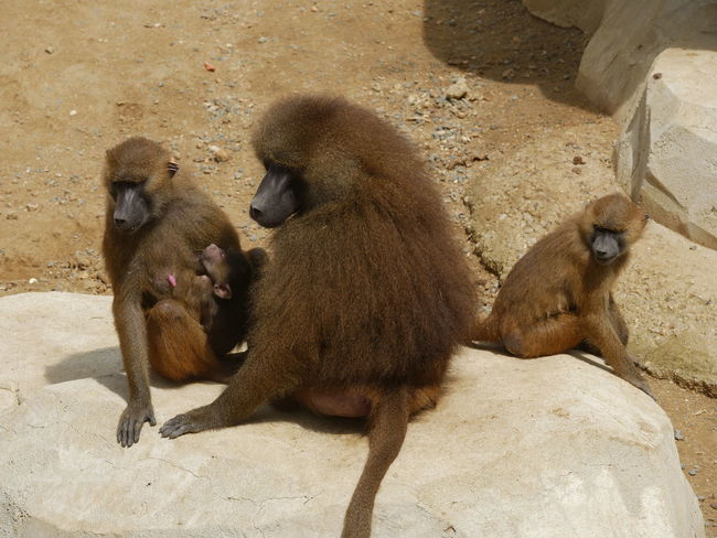 Baby Family Zoo Animal Family Animal Themes Animal Wildlife Animals In The Wild Baboon Day Mammal Monkey Nature No People Outdoors Primate Sitting Young Animal
