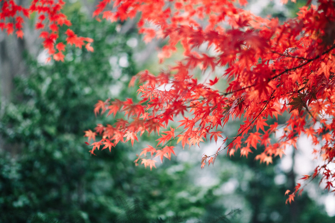 Red maple leaves in Autumn, Japan Autumn Beauty In Nature Bokeh Branch Change Close-up Colour Image Day Fall Fragility Freshness Green Color Growth Japan Leaf Momiji Nature No People Outdoors Red Scenics Selective Focus Tokyo Tranquility Tree