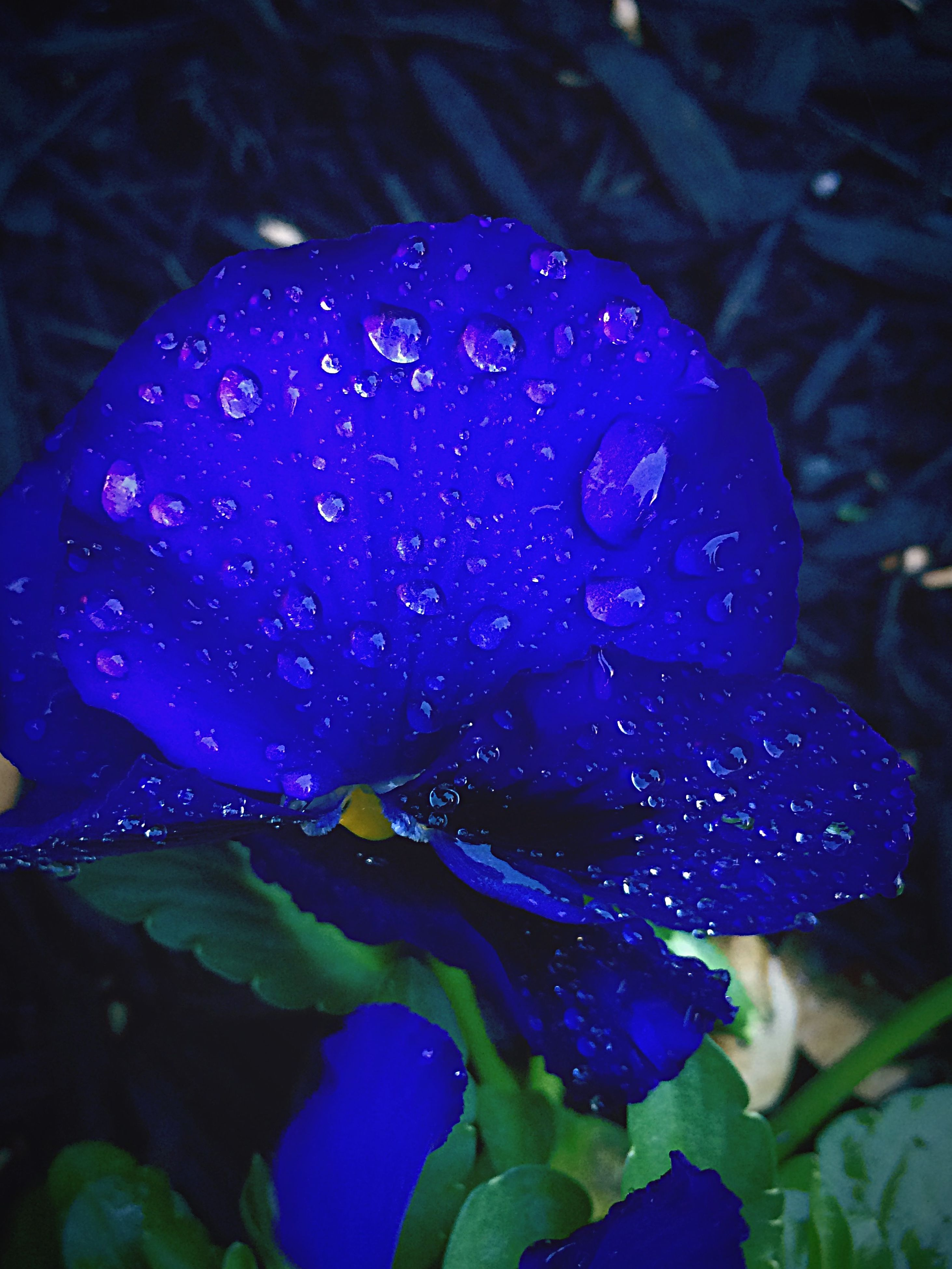 drop, water, flower, freshness, wet, close-up, fragility, petal, beauty in nature, focus on foreground, purple, flower head, growth, nature, plant, dew, blooming, leaf, day, outdoors
