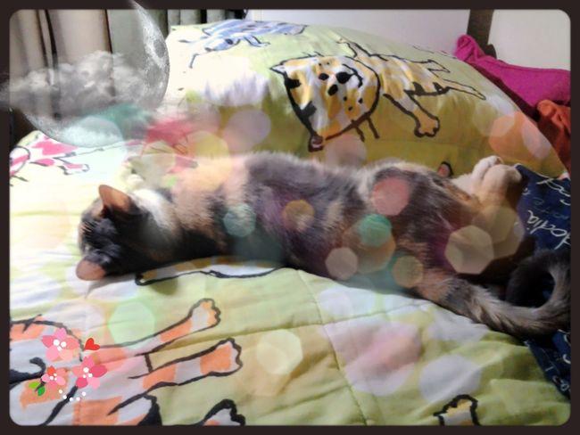 Sara só dorme. Pet Cat Sleeping