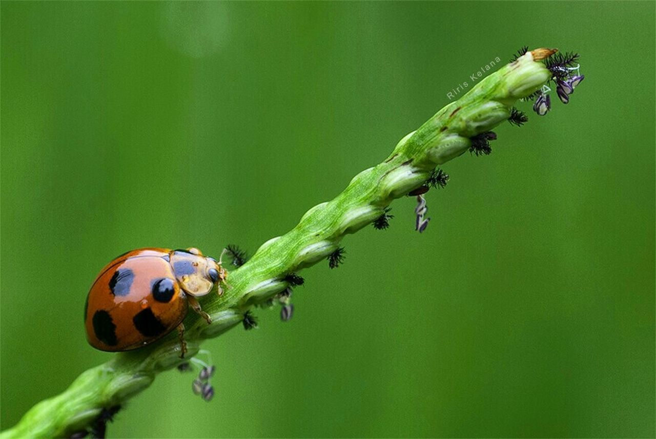 insect, animal themes, animals in the wild, one animal, ladybug, green color, animal wildlife, no people, nature, close-up, outdoors, growth, day, plant, beauty in nature, fragility