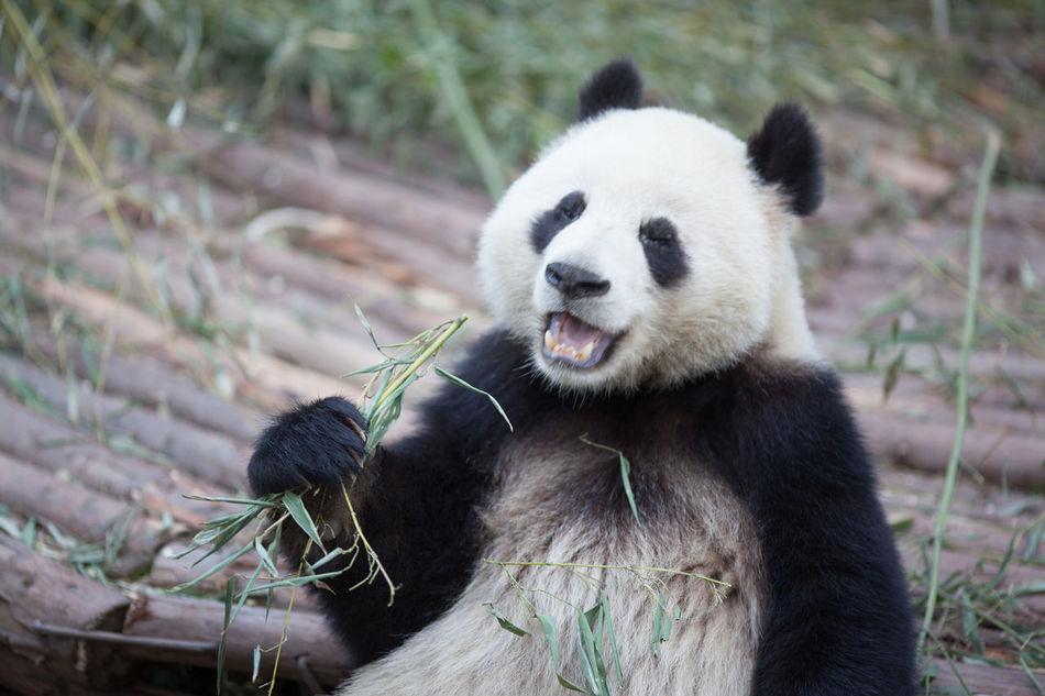 Beautiful stock photos of bear, Animal Behavior, Animal Themes, Animals In The Wild, Bamboo - Plant