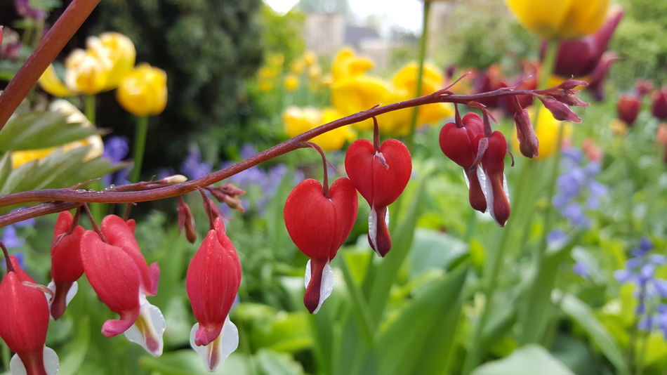 Growth Red Nature Outdoors Flower Day No People Beauty In Nature Flower Head Bleeding Heart