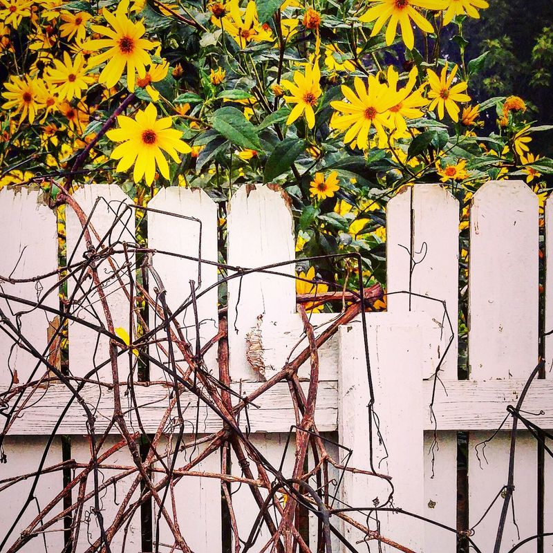 Early Morning Flower Yellow Growth Fragility Freshness Plant Day Nature Earlyautumn From My Point Of View Beauty In Nature Outdoors Plant Life Botany Multi Colored Springtime Yellow Color Blossom No People