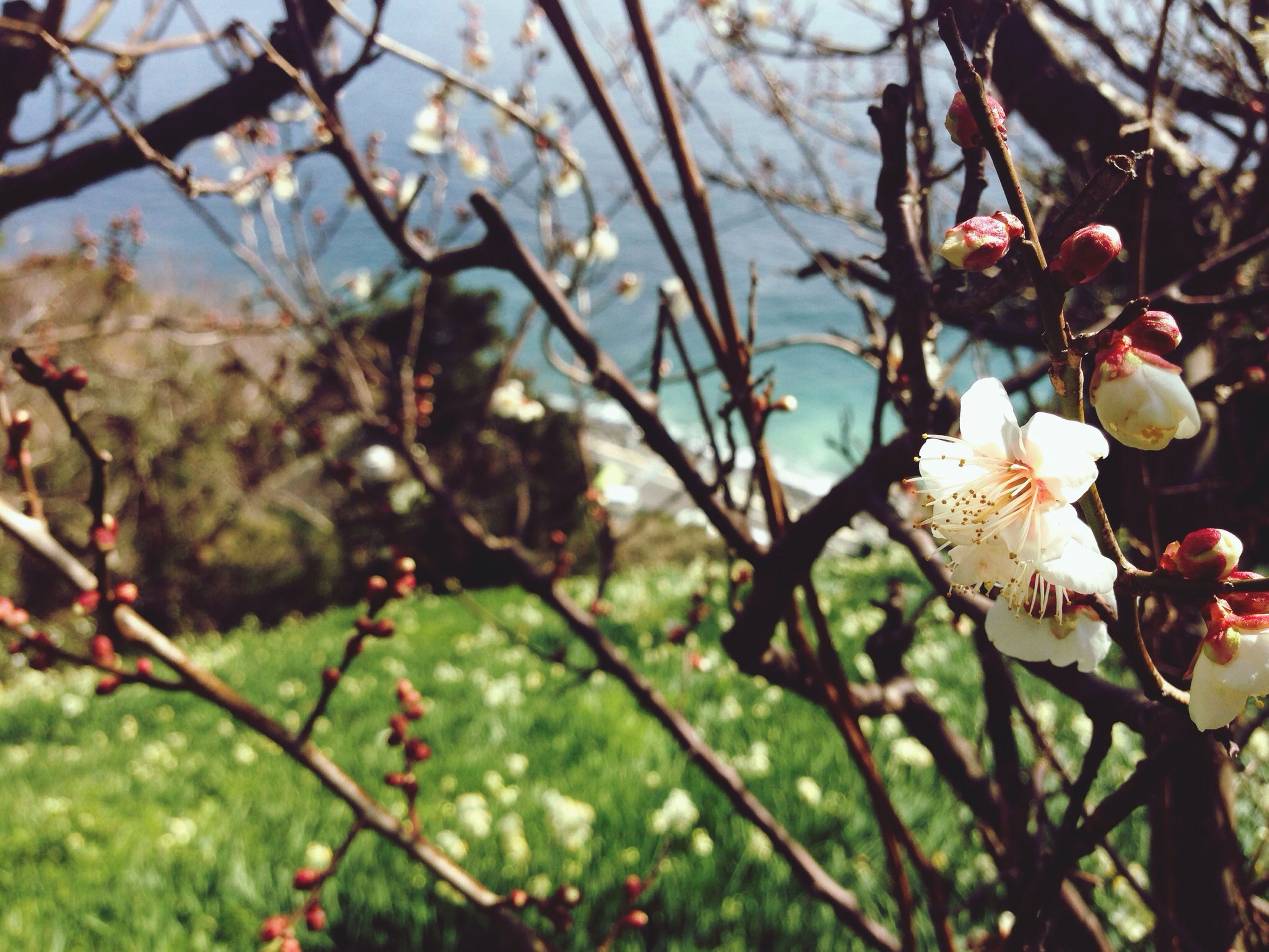 flower, branch, tree, freshness, growth, fragility, beauty in nature, nature, cherry tree, focus on foreground, blossom, cherry blossom, close-up, twig, low angle view, fruit tree, springtime, petal, blooming, in bloom