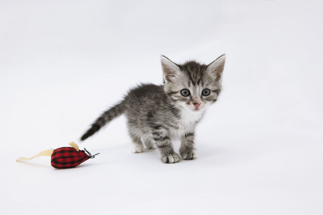 TabbyCat Domestic Animals Domestic Cat Feline Kitten No People Tabby Tabby Cat Котенок )) КотенокМэйнКуна полосатик полосатый котенок