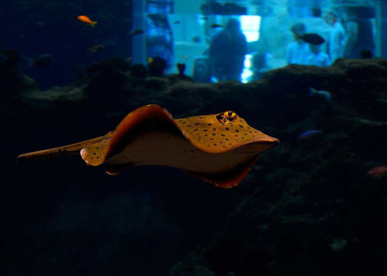 Animal Aquarium Blue Marine Animal Ray Sea Sea Devil Seadevil Sealife UnderSea Underwater Zoo