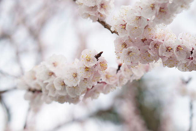 Spring Flowers Beauty In Nature Apricot Blossoms EyeEm Nature Lovers 100th EyeEm Photo