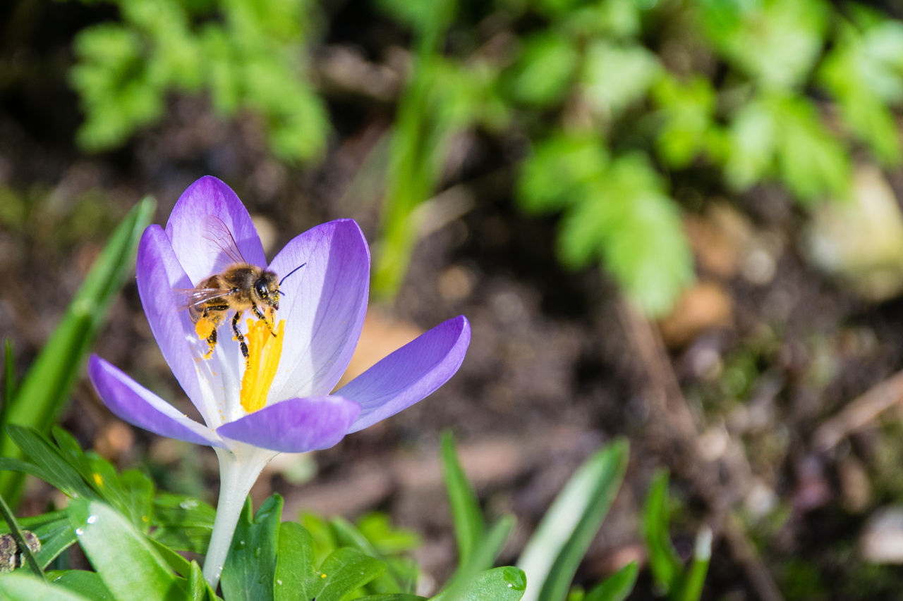 one animal, insect, flower, animal themes, animals in the wild, growth, nature, petal, plant, animal wildlife, beauty in nature, fragility, freshness, purple, outdoors, bee, day, no people, pollination, flower head, close-up, crocus