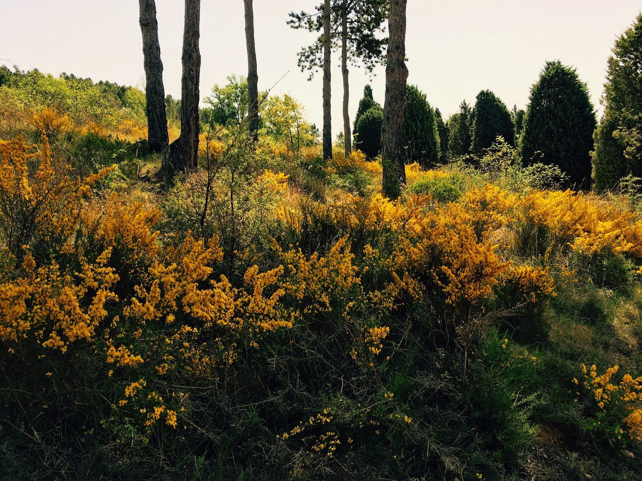 Nature Tree Beauty In Nature Landscape Yellow Forest LeonEsp  SPAIN España