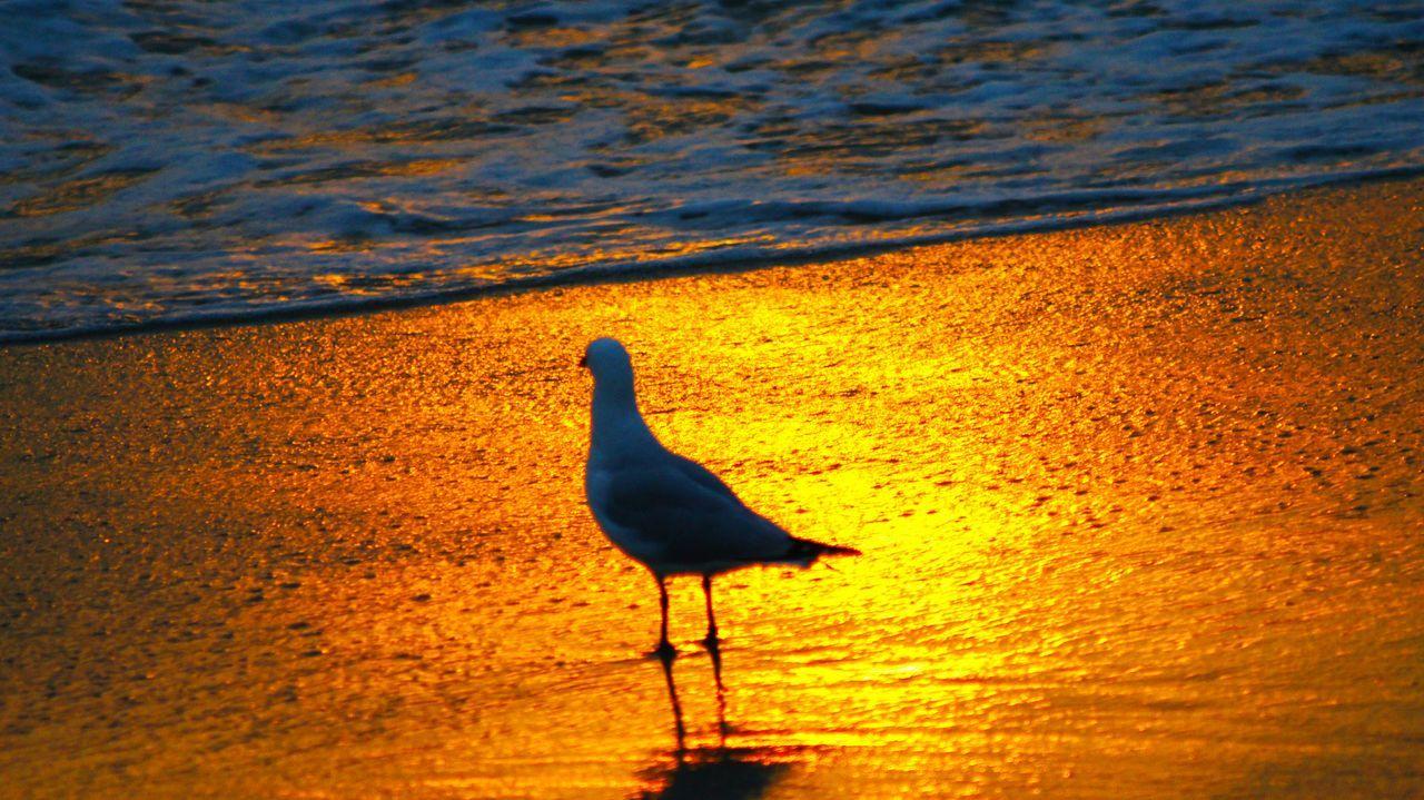 Seagul Sunset Beach Seaside Australia Beach Photography Beach Lover Western Australia WA Perth Burns Beach Birds Showcase: February