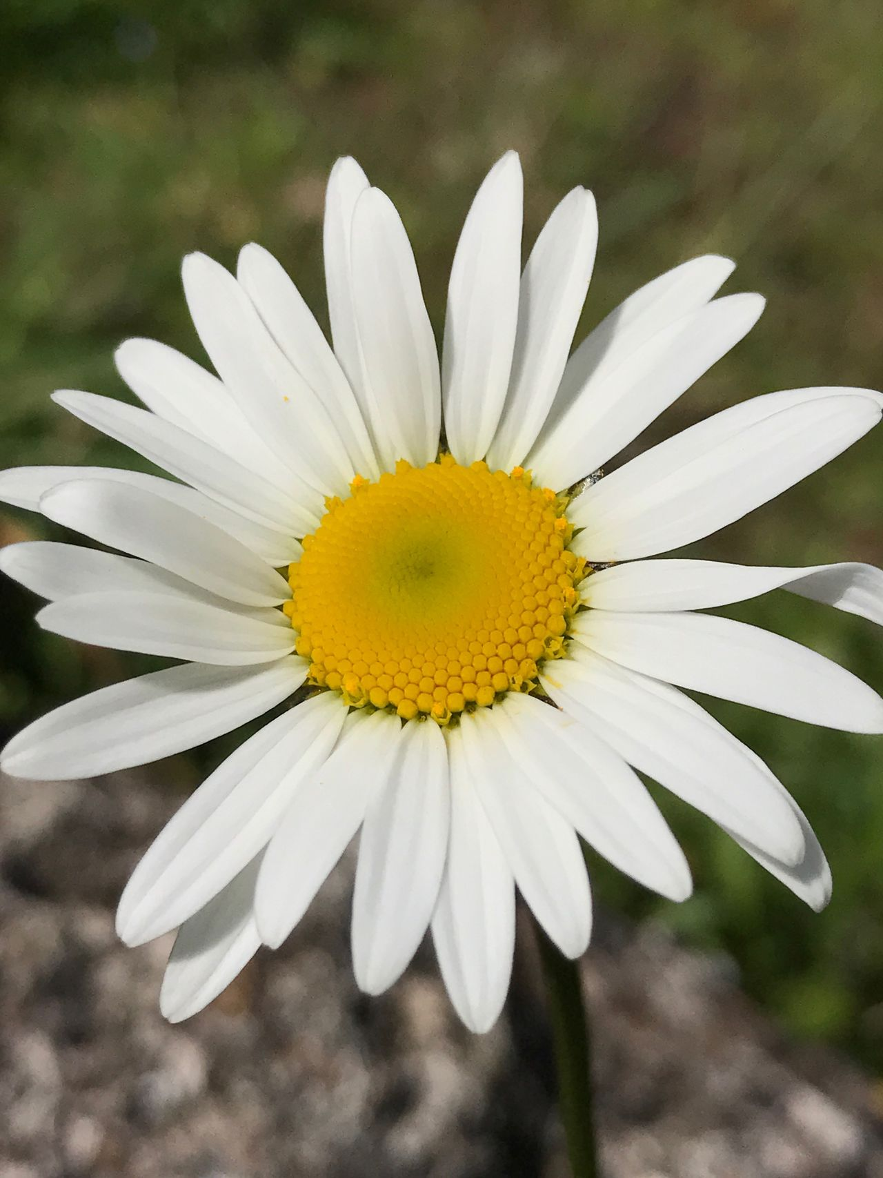 Flower Fragility Beauty In Nature Freshness Petal Flower Head Nature White Color Growth Close-up Outdoors Pollen Yellow Day Blooming No People Daisy Flower Daisy Close Up Magritte Blume Weiss Gelbe Blume 🌺