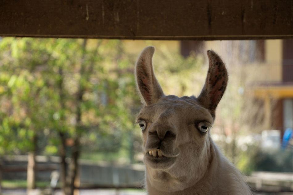 Smily freind! Animal Animal Body Part Animal Head  Ears Funny Funny Face Mammal Teeth Lama Llama Llama Face Llama!! ❤❤❤