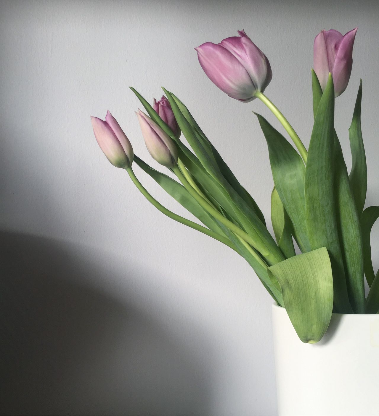 Millennial Pink Flower Freshness Fragility Petal Plant Vase Growth Nature Beauty In Nature Flower Head Close-up No People Tulip Indoors  Day Crocus