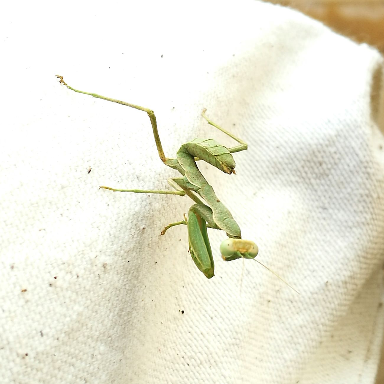 Insectphotography Insect Green Camouflage Grasshopper Nature Naturalcolor