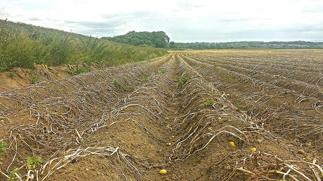 Potatoes Crops Harvested Fieldscape Ridges Hedgerow Symetry Landscape_Collection @ Aston Cheshire