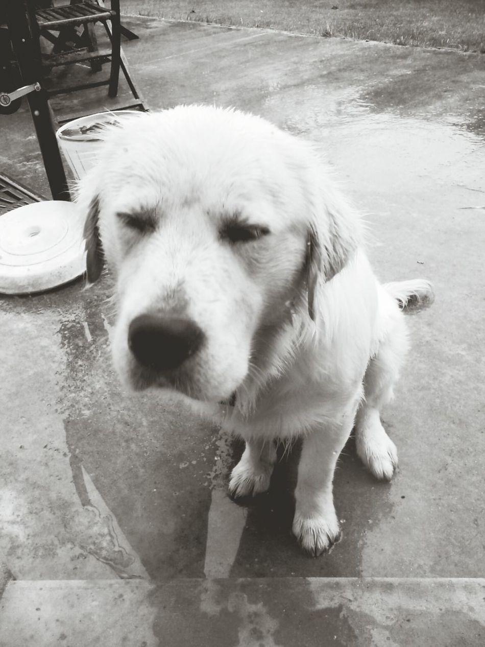 Denver likes the rain. Dog Rain Bretagne