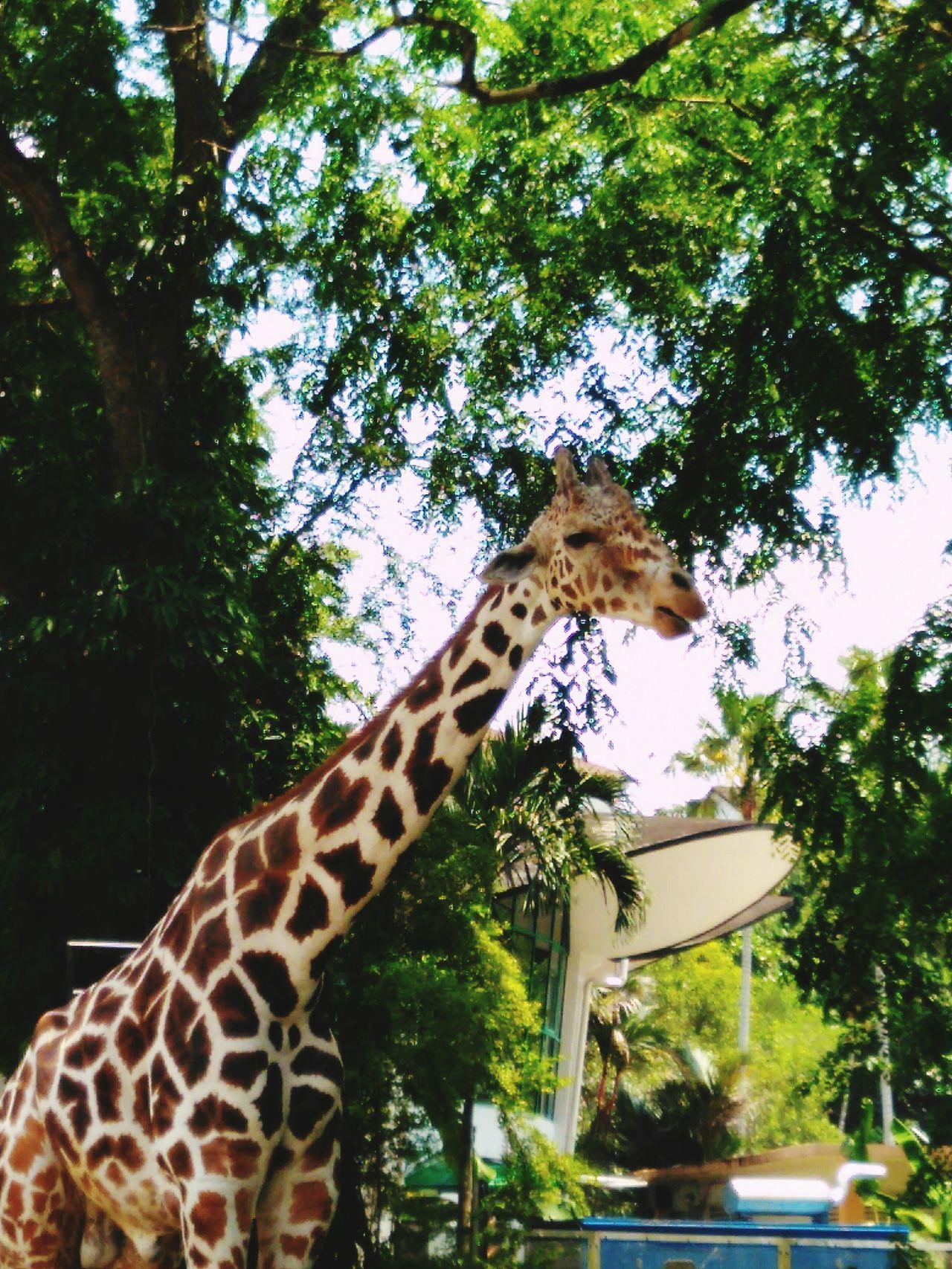 مالزی One Animal Tree Giraffe Sun