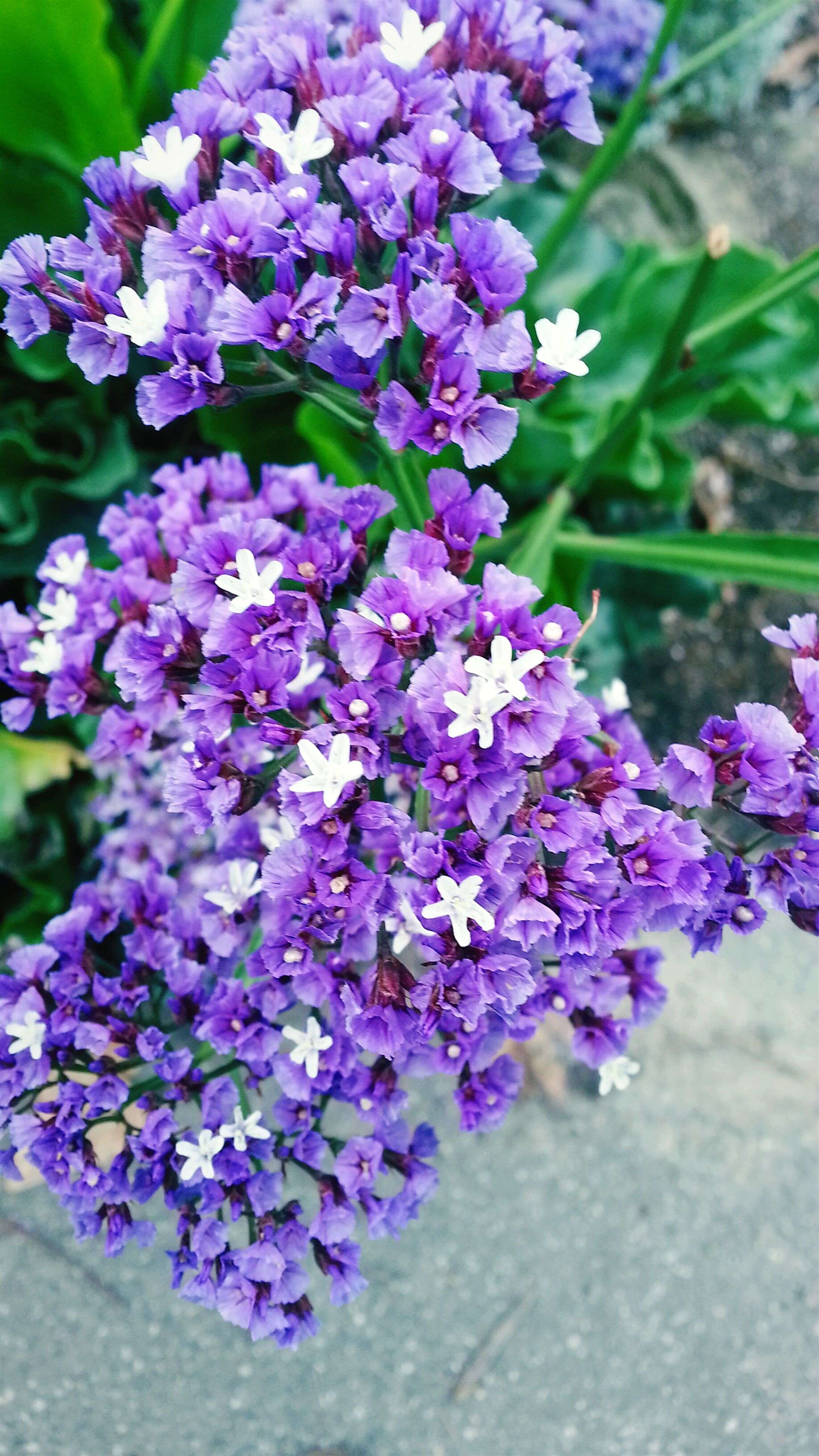 flower, purple, freshness, fragility, petal, growth, beauty in nature, plant, nature, close-up, blooming, flower head, focus on foreground, in bloom, high angle view, outdoors, selective focus, springtime, park - man made space, botany