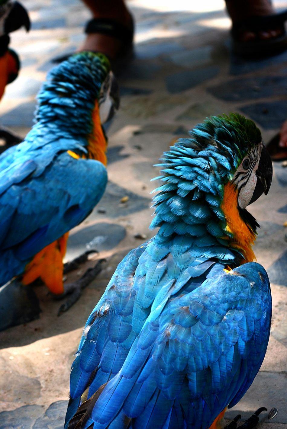 Angrybirds Very Talkative Birds Taveling Thailand