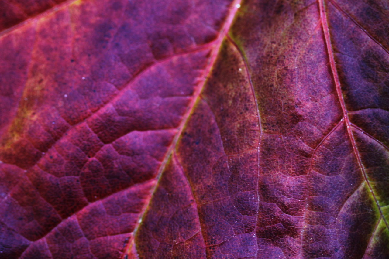 Autumn 2016 Close-up Day Fiè Allo Sciliar Full Frame Italy Leaf Leaf Vein No People Outdoors Südtirol Violet And Red
