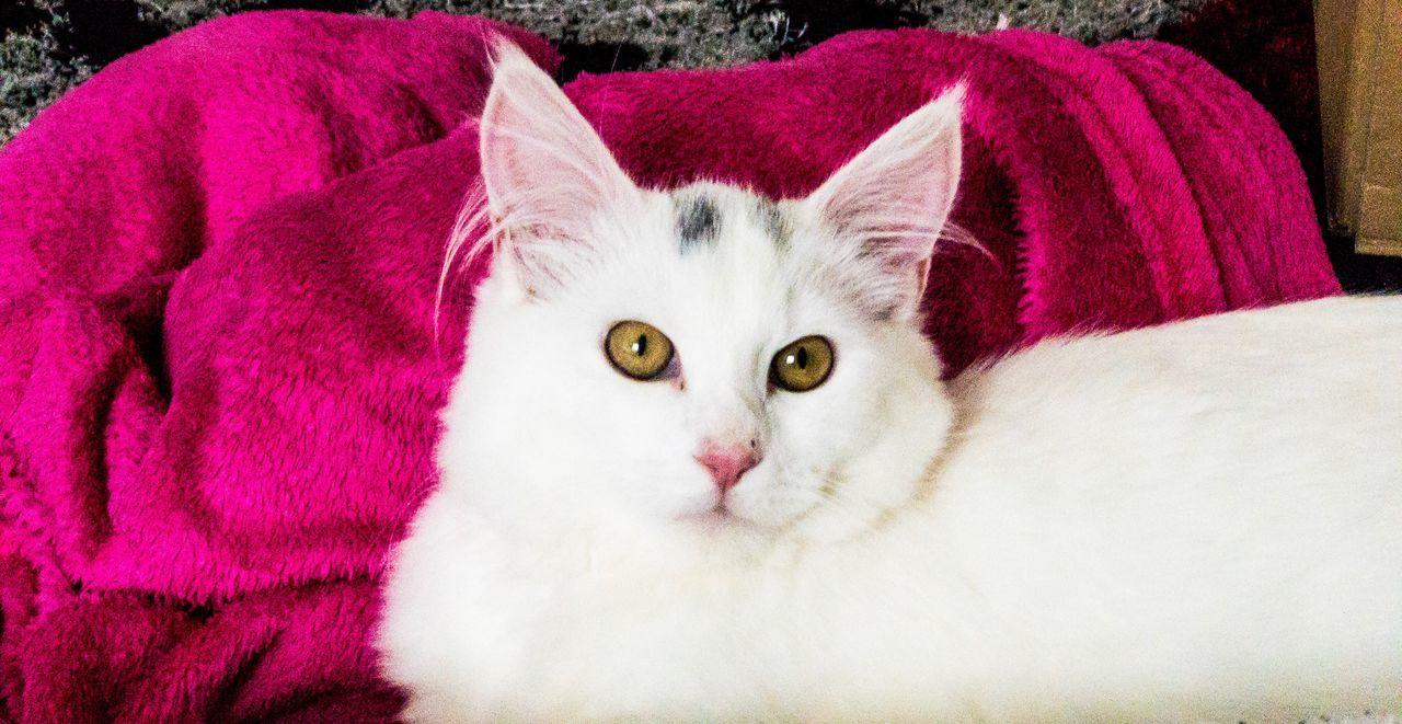 Shirin beauty and colors... Domestic Cat Portrait Looking At Camera Pets Domestic Animals Mammal One Animal Feline Lying Down Close-up Animal Themes Beauty Angoracat Day