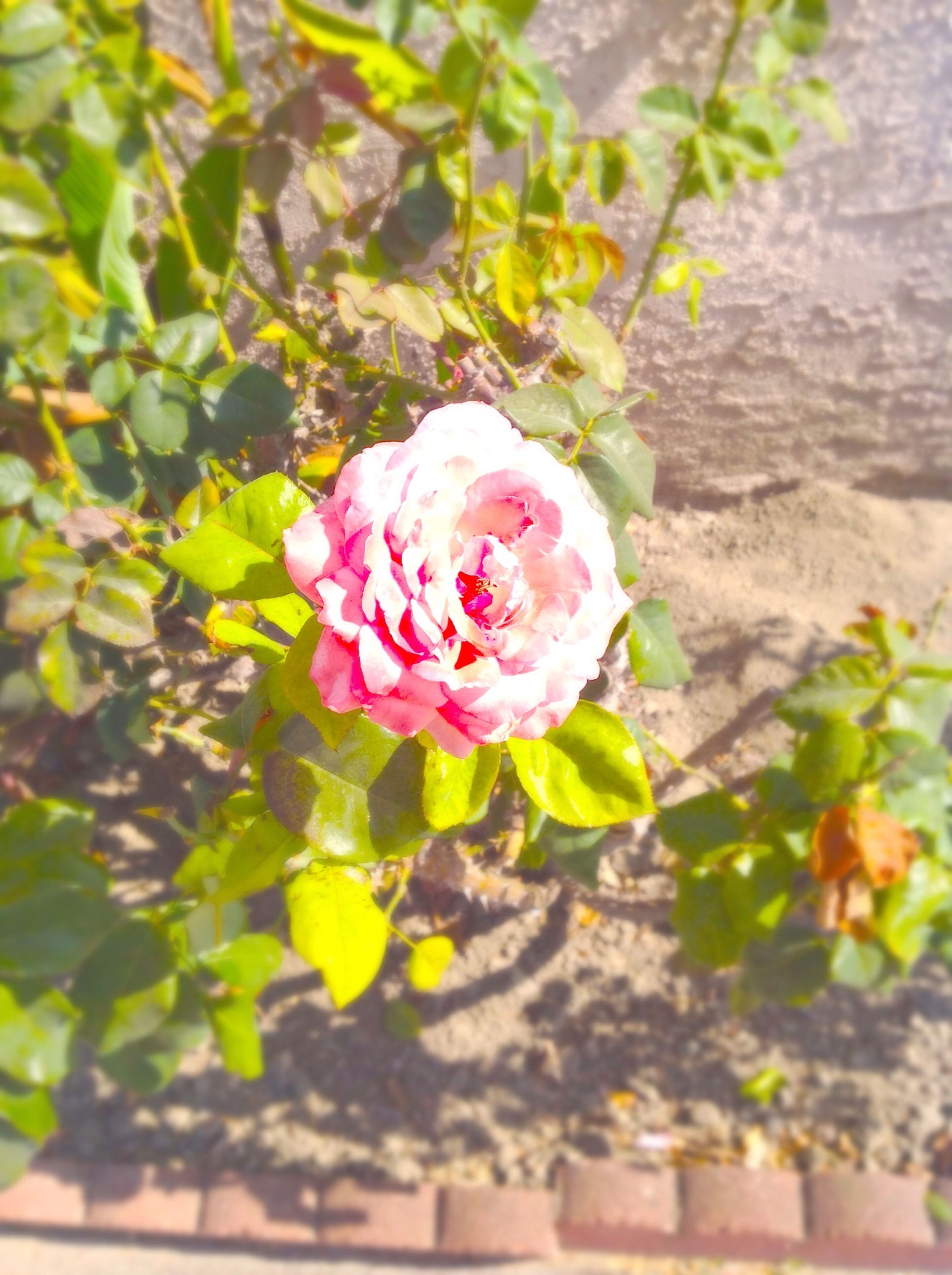 flower, freshness, petal, fragility, flower head, growth, focus on foreground, rose - flower, beauty in nature, close-up, blooming, pink color, nature, plant, leaf, in bloom, day, single flower, outdoors, springtime