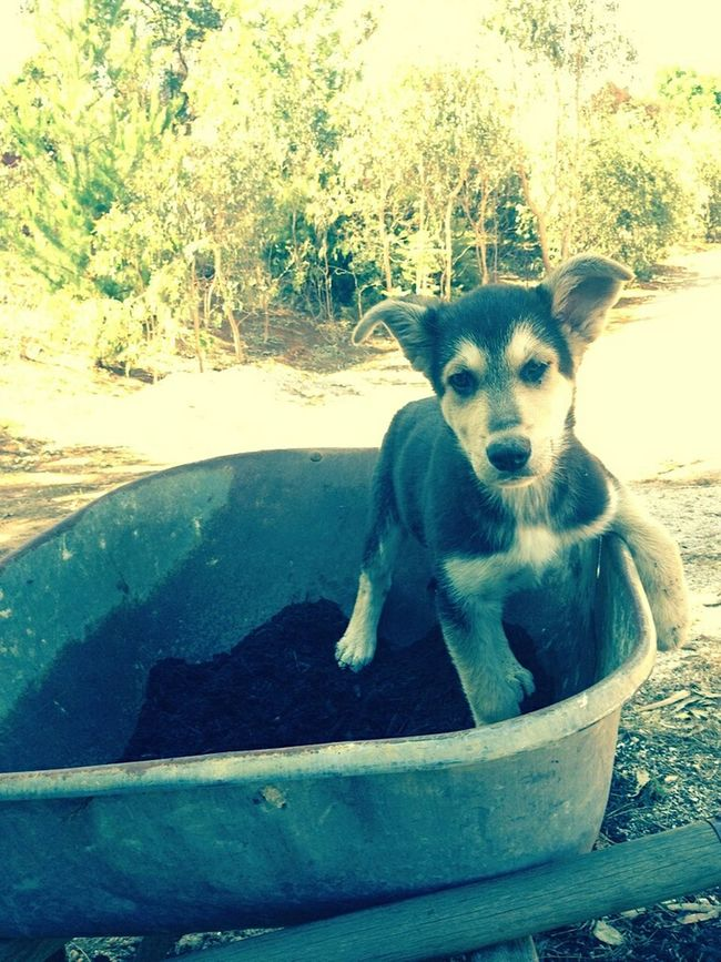 Puppy Wheelbarrow Summer Dogs Chilled Home Pemberton South Western Australia