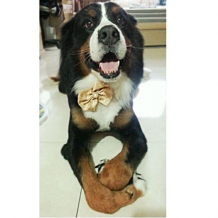 ? 帥額 ? ? Bernersennen Bmd Bernesemountaindog Bigpaws bmd berneroftheday puppyoftheday