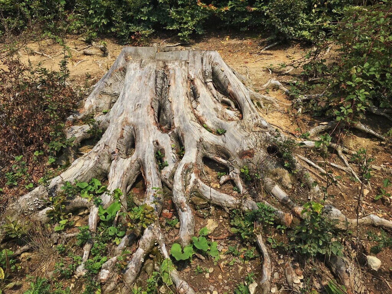 ✨Don't forget your roots✨ Tree Wood - Material Nature No People Growth Forest Tree Trunk Outdoors Photo EyeEm Gallery Capture The Moment EyeEm EyeEm Nature Lover Beauty In Nature Giant Wood Tree EyeEmBestPics Beautiful Nature Roots Of Tree Roots