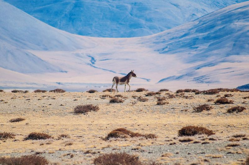 Wildass Wilddonkeys Ladakh Tsokar One Animal Animals In The Wild Mammal Nature Animal Themes Day No People Outdoors Landscape Standing Animal Wildlife Desert Beauty In Nature Sky EyeEm Selects EyeEm Nature Lover India Physical Geography Geology Mountains Perspectives On Nature