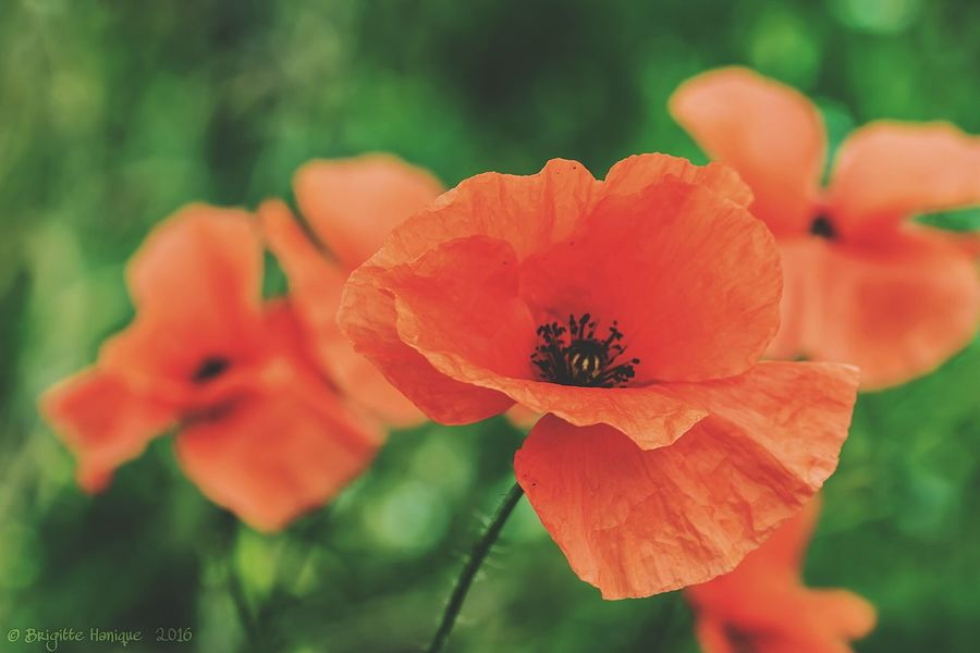 ArmisticeDay November 11th Armistice Remember Flower Nature Beauty In Nature Plant Close-up Poppy Growth Springtime No People Summer Outdoors Flower Head Day Freshness Poppies  Red Nature Beauty In Nature