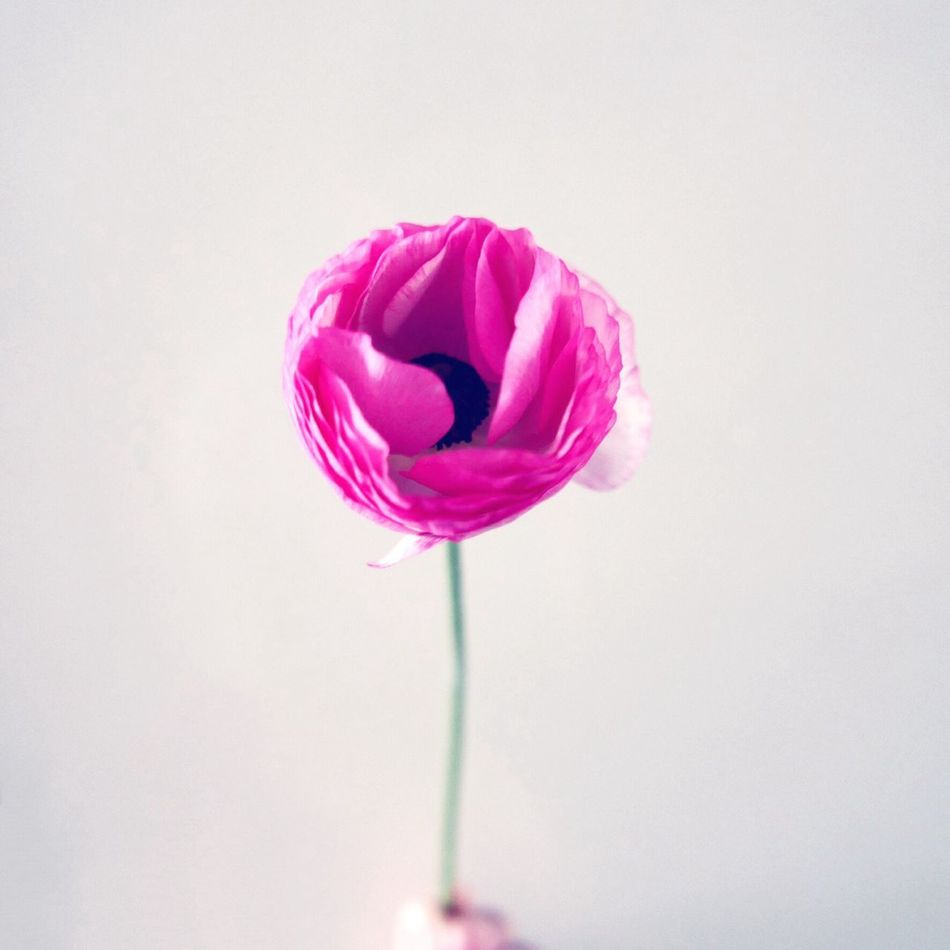 Beautiful stock photos of roses, Beauty In Nature, Botany, Close-Up, Cut Out