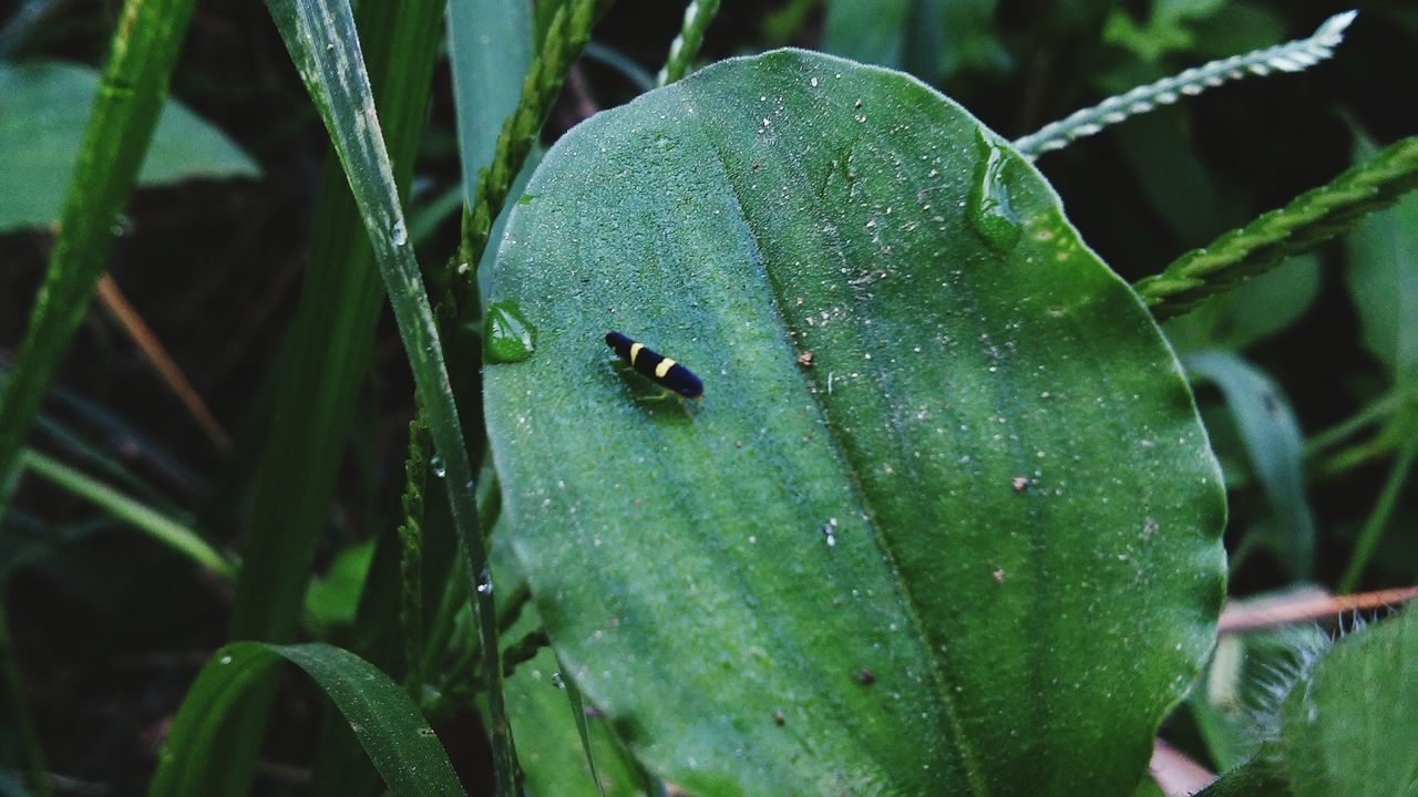 green color, animal themes, one animal, insect, animals in the wild, leaf, close-up, animal wildlife, plant, nature, outdoors, growth, day, no people, drop, focus on foreground, tiny, ladybug, water, beauty in nature