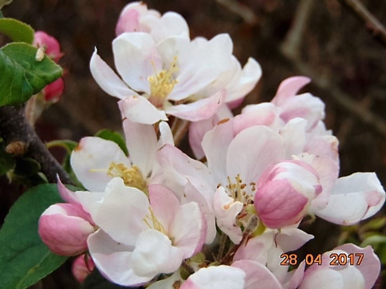 Flower Petal Fragility Flower Head Freshness Close-up Nature Beauty In Nature No People Pink Color Growth Day Plant Outdoors Apple Blossom St Agnes