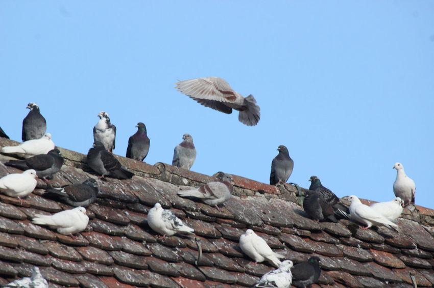 Beauty In Nature Birds Blue Sky Im Flug Outdoors Sonnenschein  Tag Taubenfotografie