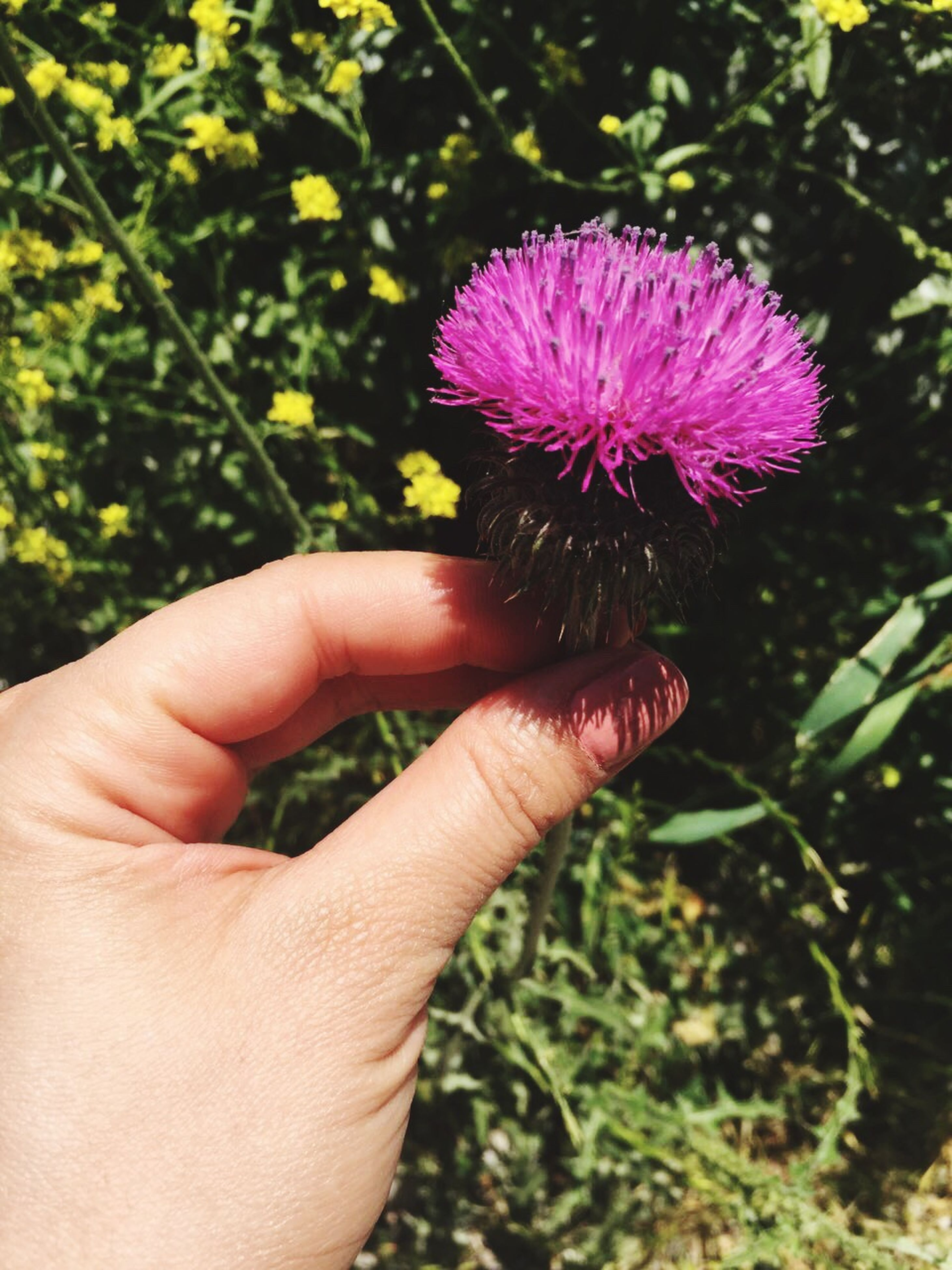 person, holding, flower, part of, cropped, human finger, freshness, fragility, unrecognizable person, close-up, focus on foreground, growth, petal, personal perspective, flower head, beauty in nature, nature