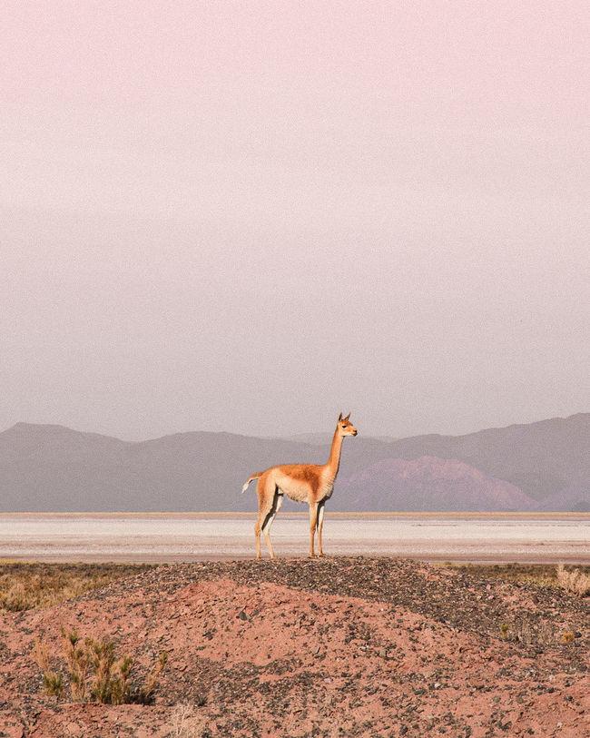 Vicuña Argentina Week On Eyeem Landscape_Collection Travel Destinations One Animal Animal Animal Themes Sand Desert Animal Wildlife Outdoors Animals In The Wild Nature Sand Dune