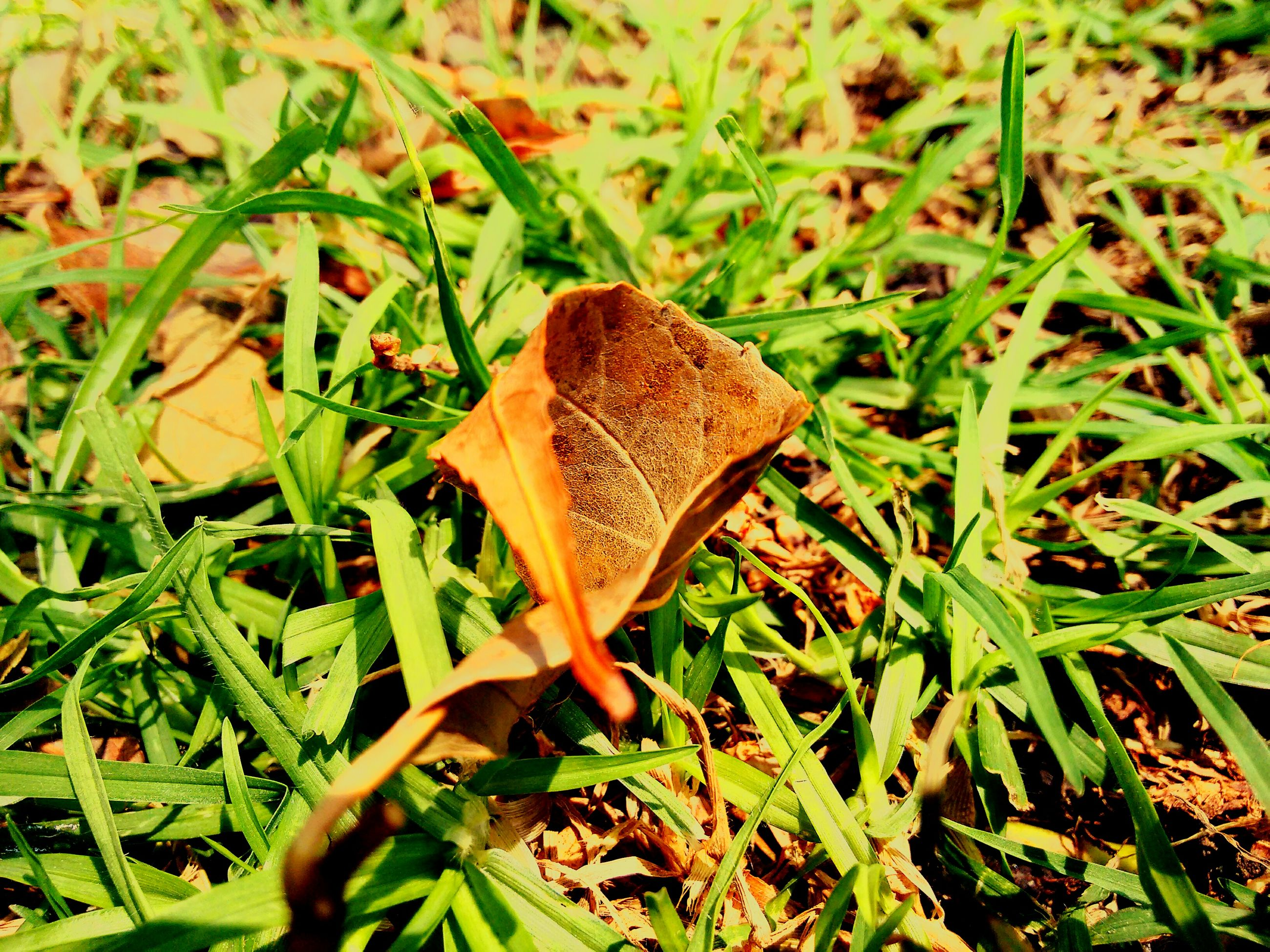 grass, field, grassy, green color, leaf, growth, nature, mushroom, close-up, fungus, plant, selective focus, beauty in nature, dry, day, toadstool, tranquility, fragility, outdoors, focus on foreground