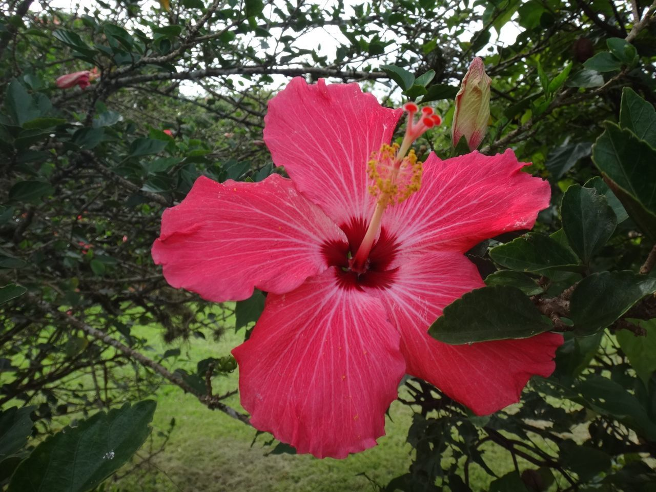 Close-Up Of Fresh Pink Hibiscus Blooming In Garden