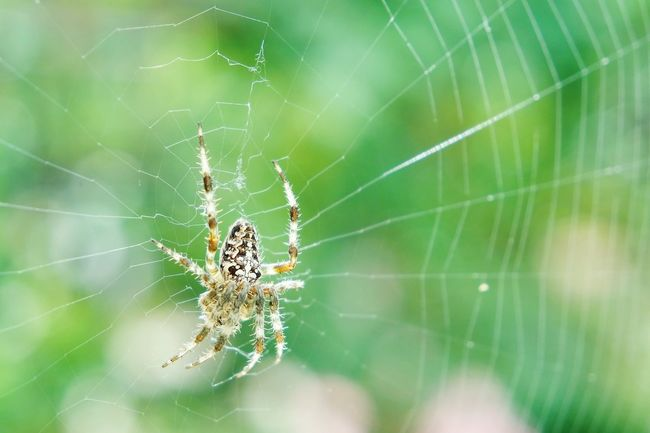 Spider Spider Web Animal Themes Spider One Animal Close-up Animals In The Wild Insect Spinning Focus On Foreground Survival Natural Pattern Web Wildlife Fragility Nature Day Complexity Spiderweb Outdoors Zoology EyeEm Best Shots Eye4photography  Fresh 3 Open Edit Nature_collection