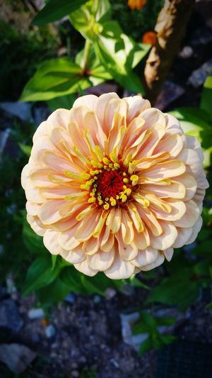 Zinnia  Nature Beauty In Nature Focus On Foreground Summer