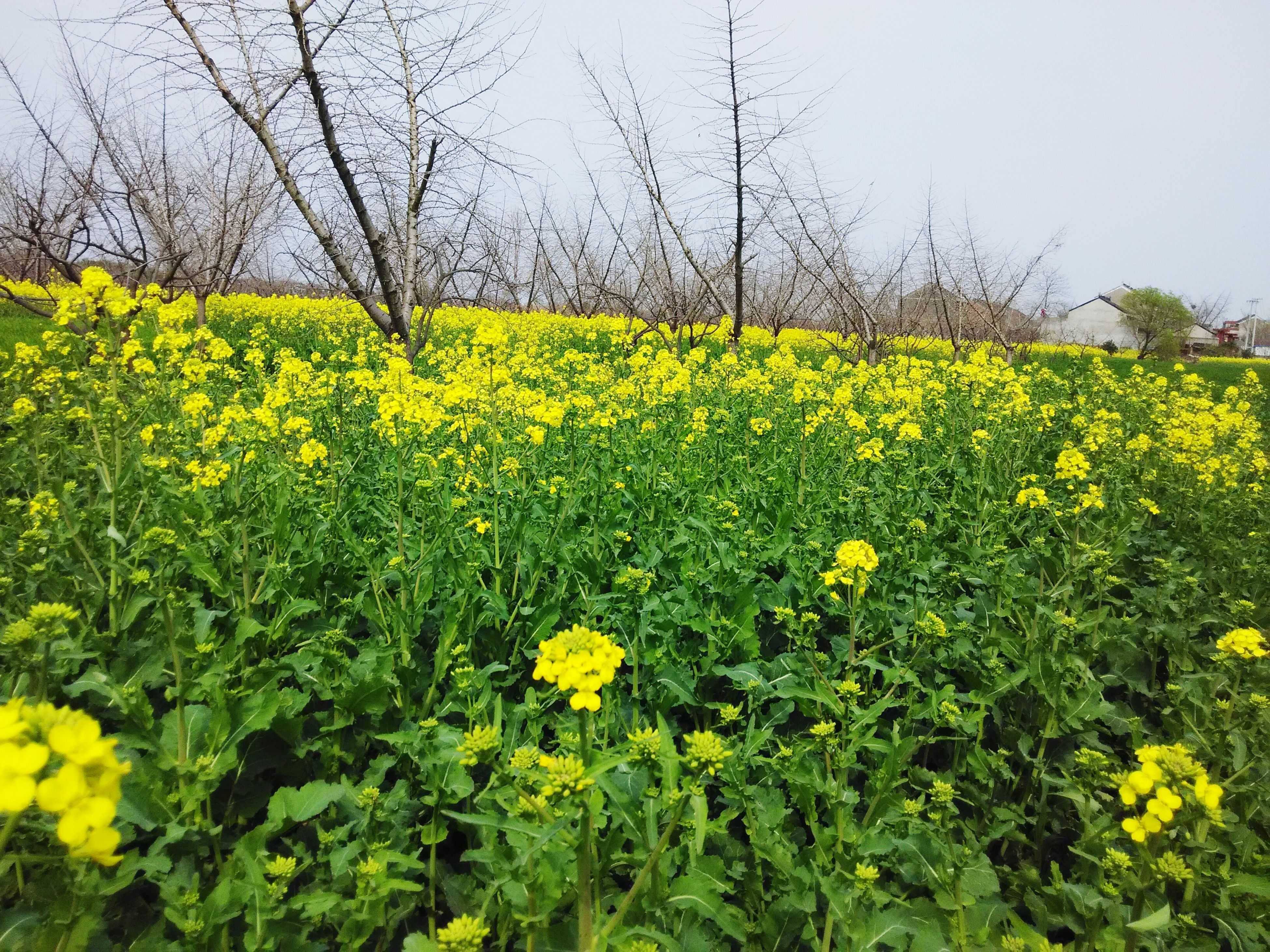 flower, yellow, freshness, growth, beauty in nature, fragility, field, nature, plant, blooming, blossom, in bloom, rural scene, petal, agriculture, flower head, tranquility, springtime, abundance, tranquil scene