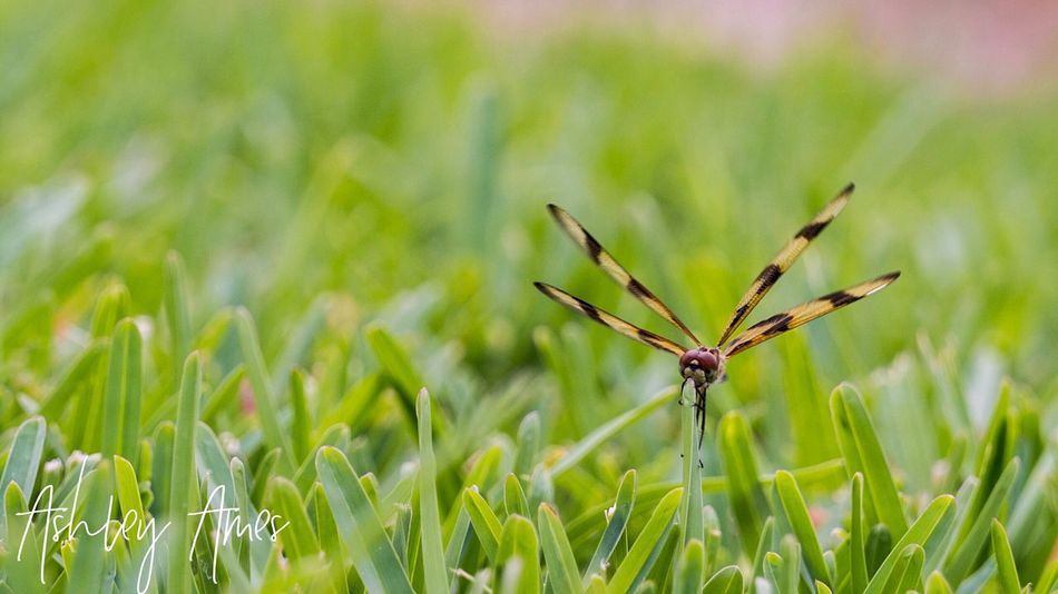 Fireflies Insect Close-up Grass Nature Field Focus On Foreground Plant Fireflies dragonfly