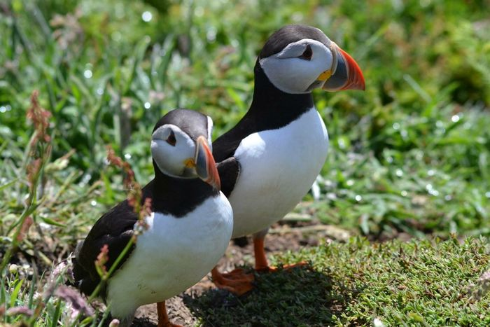 Puffins Animal Wildlife Animals In The Wild Atlantic Puffin Beauty In Nature Bird Close-up Day Field Nature Outdoors Puffin Puffins Seabirds