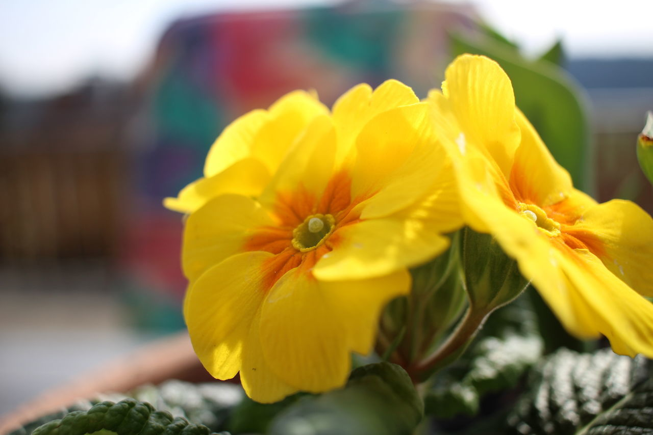 Beauty In Nature Close-up Day Flower Flower Head Focus On Foreground Fragility Freshness Nature No People Outdoors Petal Plant Primrose Yellow